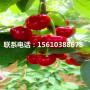 俄罗斯8号樱桃苗产地在哪里、俄罗斯8号樱桃苗多少钱