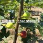 加州黑无花果树苗购买基地、加州黑无花果树苗便宜出售