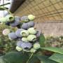 追雪藍莓苗苗圃、都克藍莓苗成熟時間