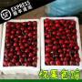 状元红樱桃树苗销售(甘肃省)