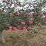 红蜜脆苹果树在基地能买到(福建省)