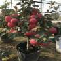 瑞普丽苹果树在基地能买到(内蒙古)